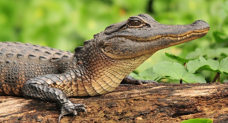 What Are Some Facts About Alligators?