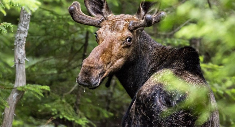 What Are Some Good Methods for Moose Calling?