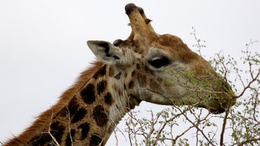What Are Some Interesting Facts About Giraffes?