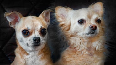 What Dog Breed Stays Small?