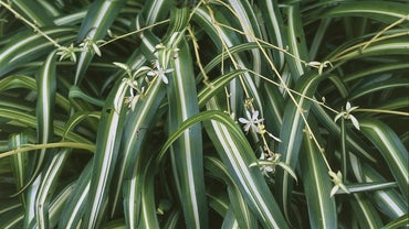 Are Spider Plants Poisonous to Cats?
