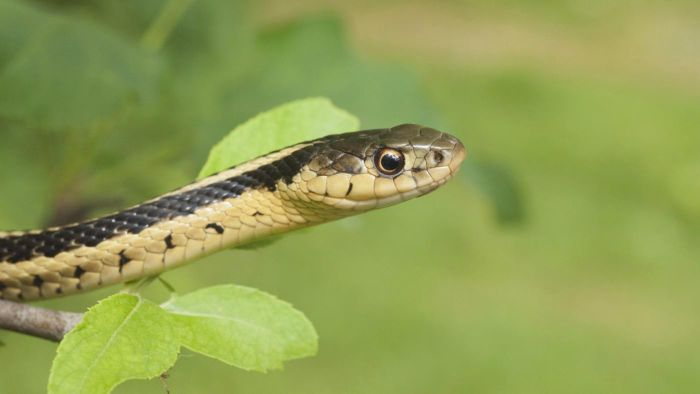 What Does a Garter Snake Look Like?