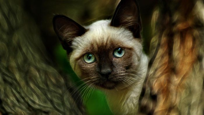 Where Can You Find Information About Siamese Cats?