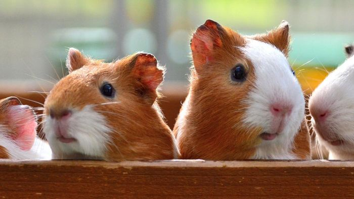 What Foods Can Guinea Pigs Eat?