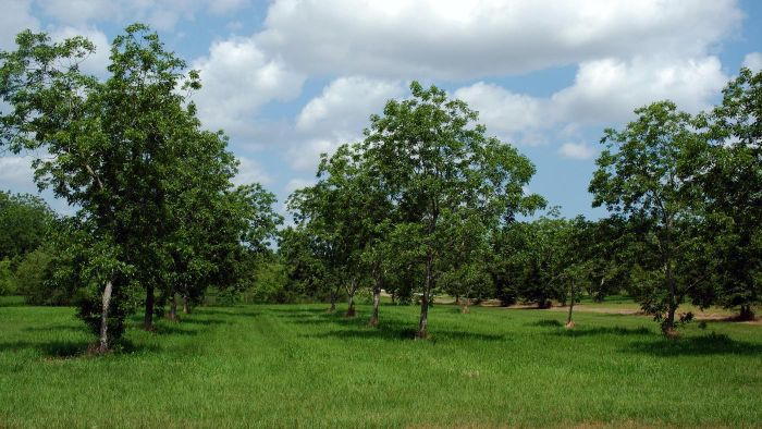 What Are Some Good Fertilizers for Pecan Trees?