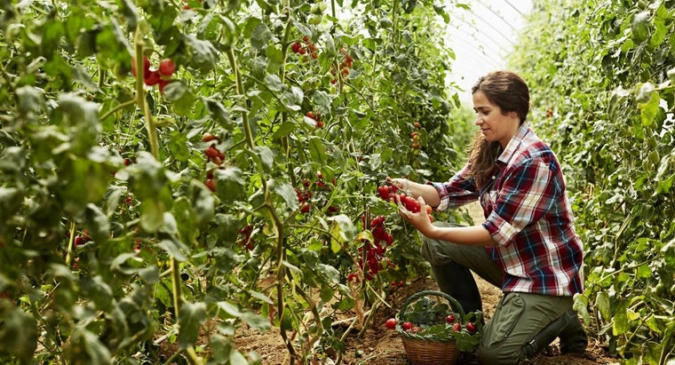 What Is the Ideal Ratio for Tomato Fertilizer?