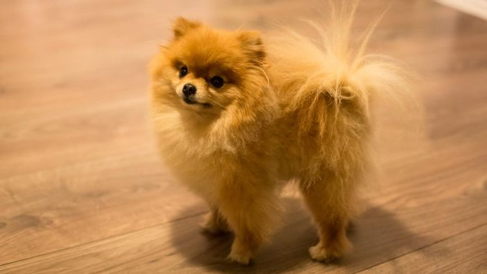 adopt pomeranian puppies where can you find cheap teacup pomeranian puppies for sale online reference com 5389
