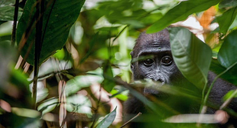 What Are Some Facts About Gorillas?