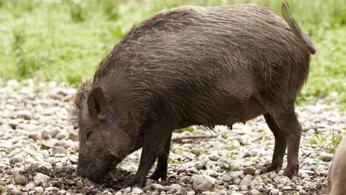 Is Hunting Feral Hogs in Texas Legal All Year?