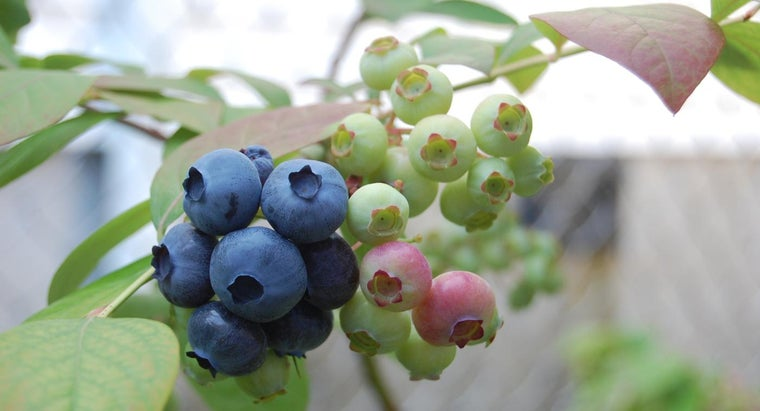 When Should I Trim My Blueberry Bushes?