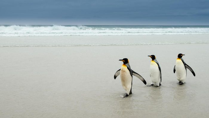 How Did Penguins Get Their Waddle?