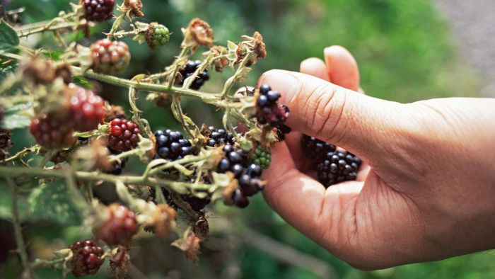 When Do You Prune Blackberries?
