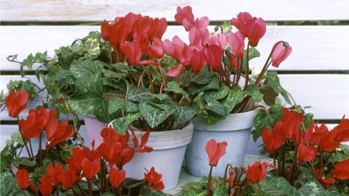 What Do You Need to Take Care of a Cyclamen Plant?