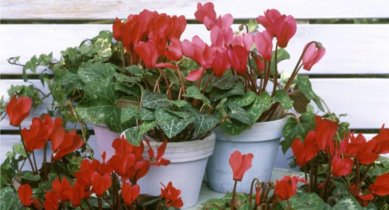 What Do You Need to Take Care of a Cyclamen Plant? | Reference.com House Plants Cyclamen Plant Care Questions on graptopetalum plant care, vriesea plant care, gloxinia plant care, osmanthus plant care, melampodium plant care, thunbergia plant care, ipomoea plant care, amorphophallus plant care, dicentra plant care, arum plant care, nierembergia plant care, moss plant care, senecio plant care, heuchera plant care, butterfly orchid plant care, lysimachia plant care, centaurea plant care, lamium plant care, doronicum plant care, sempervivum plant care,