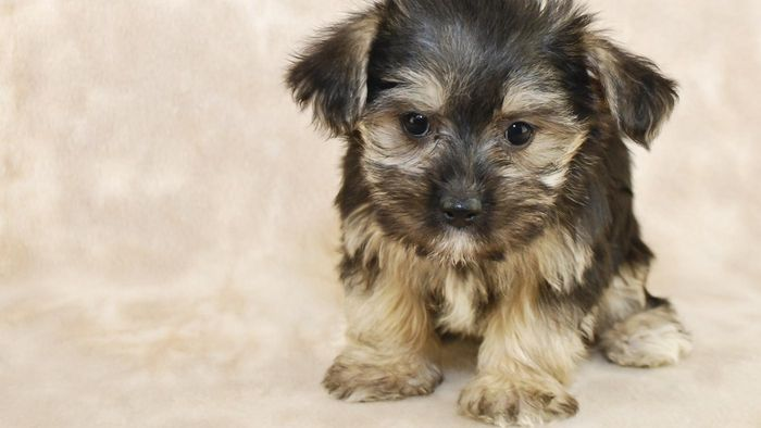 What Are Some Tips for Finding Breeders of Morkie Puppies?