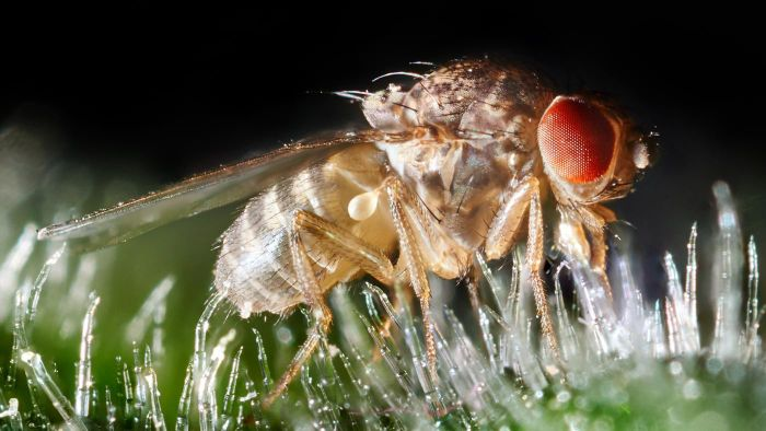 Where can you find fruit fly images?