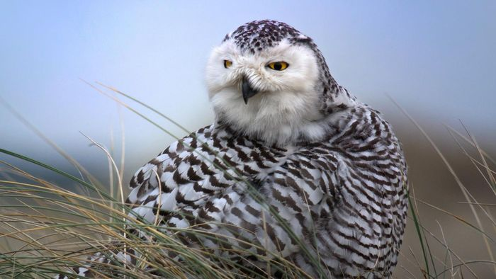 Where Can Snowy Owls Be Found?