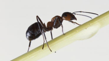 What Is a Good Treatment for Fire Ant Bites?