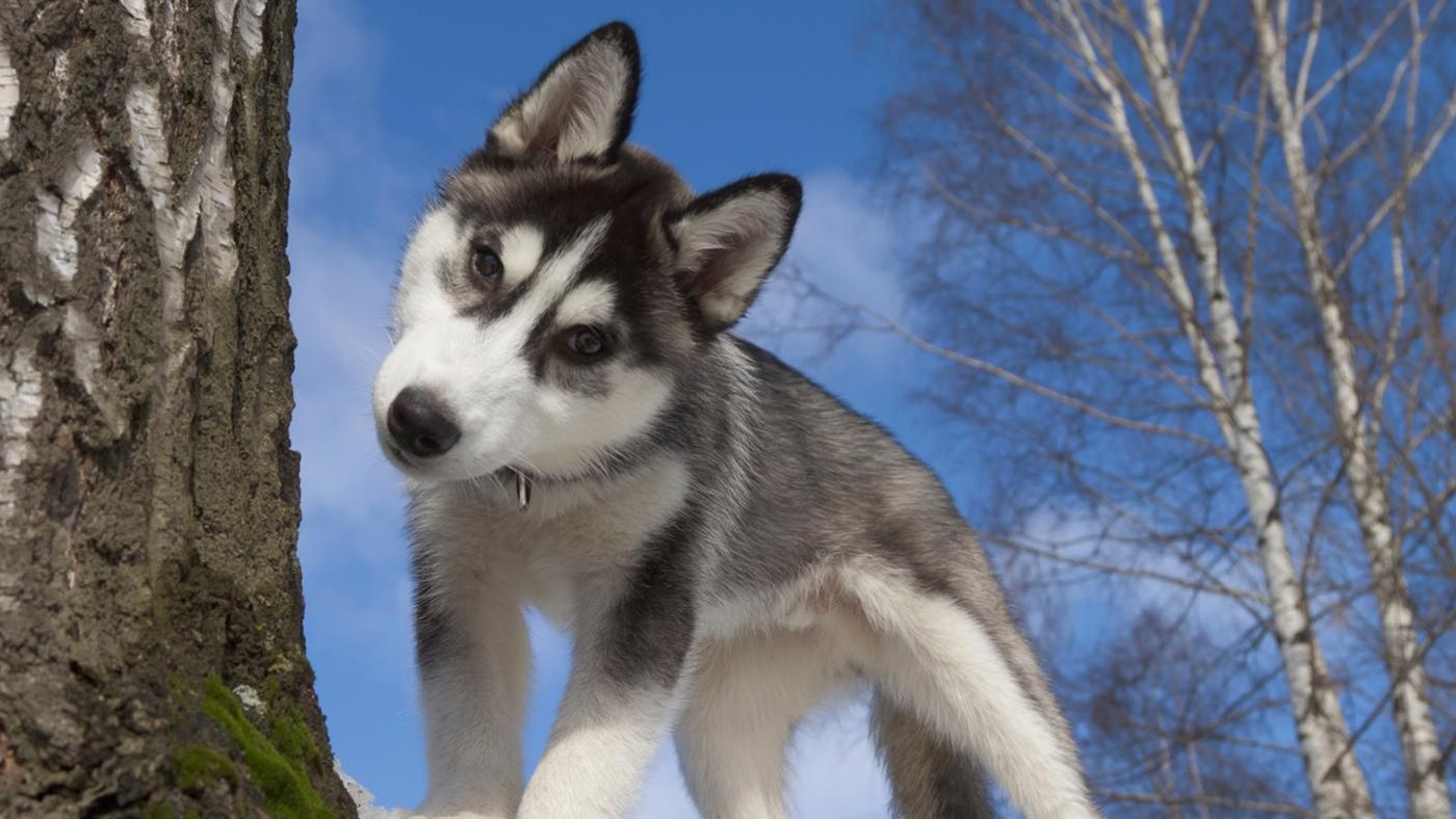 What Is The Average Size Of A Miniature Husky Reference
