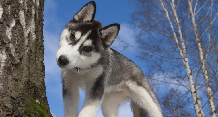 What Is the Average Size of a Miniature Husky?