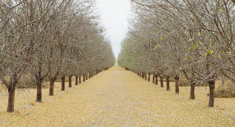 How Do You Buy Pistachio Trees?