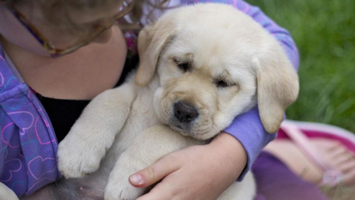 How Do You Choose Healthy Labrador Puppies?