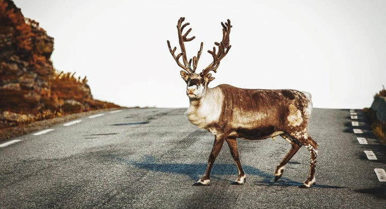 What Are Some Interesting Facts About Caribou?