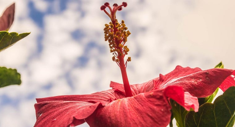 How Do You Prune a Hibiscus?