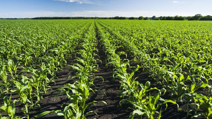 Where Can You Find a Chart of the Current Market Price of Corn Crops?