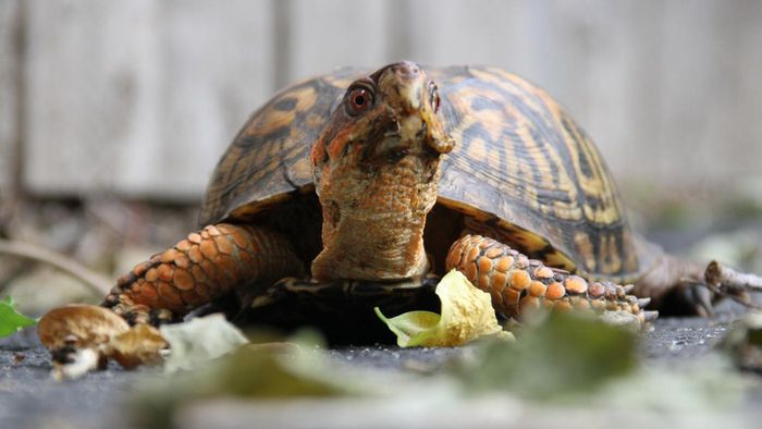 What Does a Box Turtle Eat?