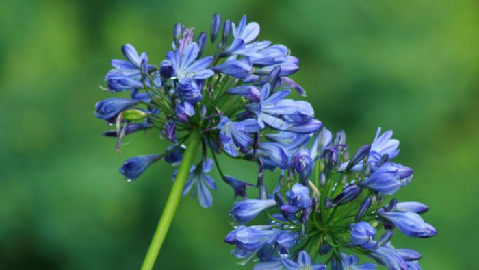 What Are Some Blue Perennial Flowers?
