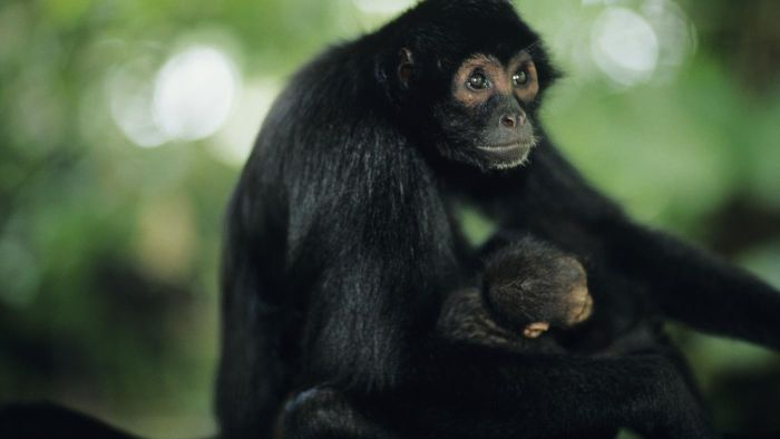 What are some facts about black spider monkeys?