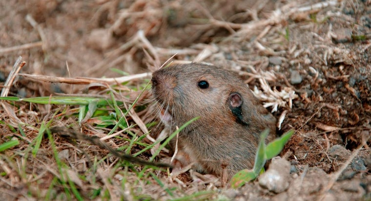 What Is the Fastest Way to Get Rid of Gophers in Your Yard?