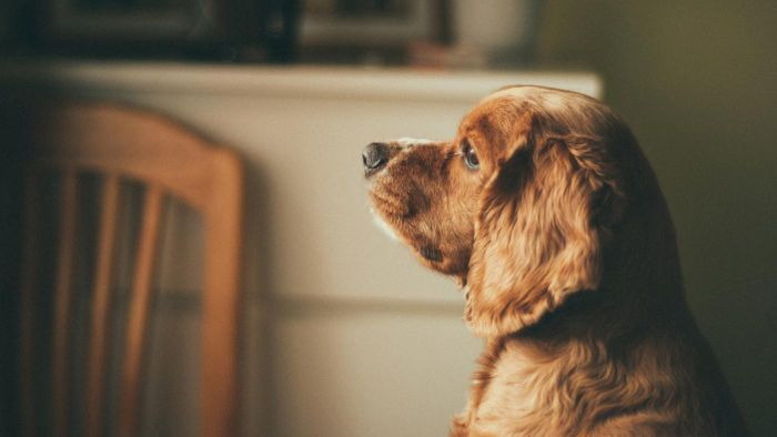 What Are Some Qualities of a Cocker Spaniel Dog?