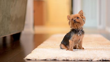 What Kind of Household Is a Teacup Yorkie Puppy Best Suited For?