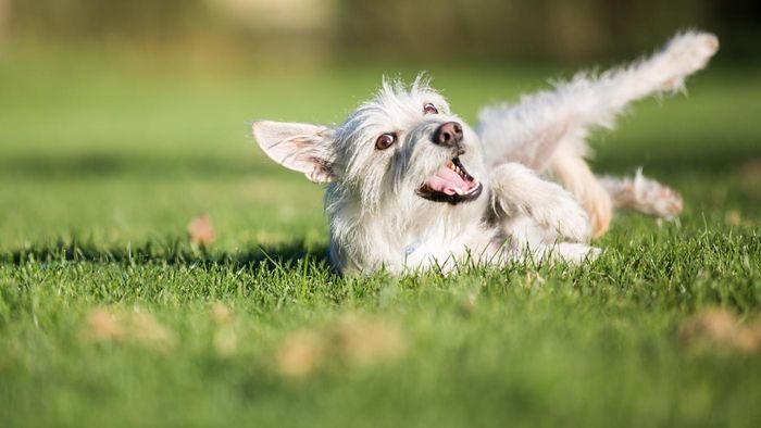 What is RIMADYL used for in dogs?