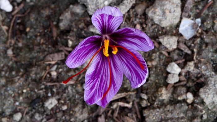 What Is Saffron's Most Common Use?