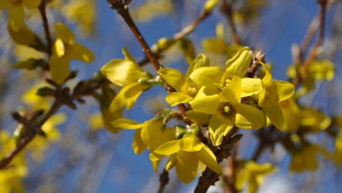 How Do You Prune Forsythia Bushes?