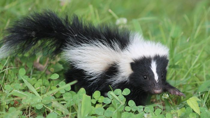 What Are Some Tips for Eliminating Skunk Odor on Dogs?