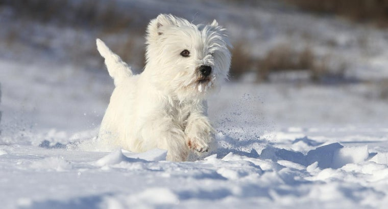 Where Can You Find Cute Photos of Mini Westie Puppies?