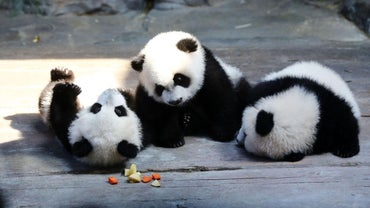 What Are Some Facts About Pandas That Most People Don't Know?