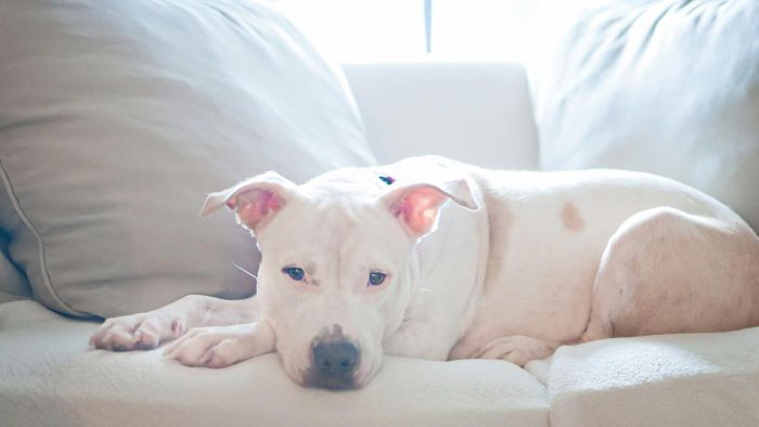 What Are Some Good Pitbull Rescue Shelters?