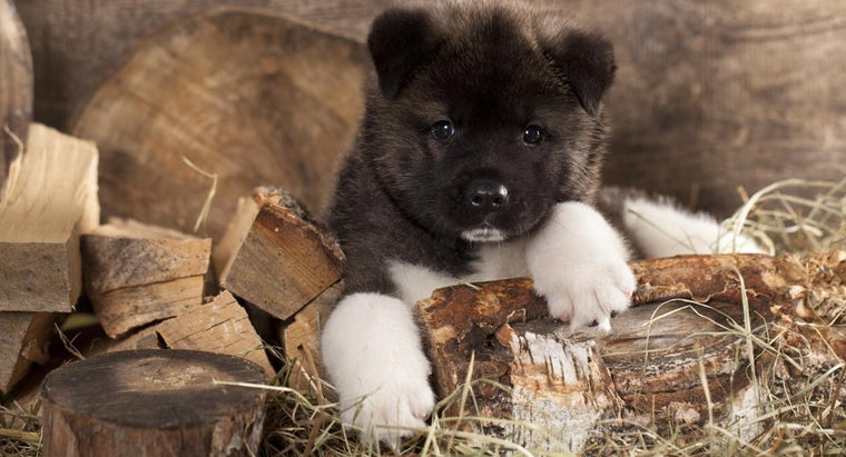 Where Can You Find Akita Puppies for Sale?