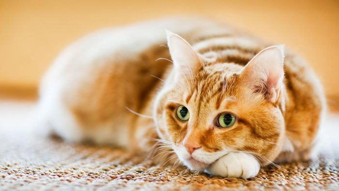 How do you remove the smell of cat urine from a carpet?