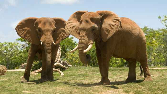 What Zoos Have the Best African Elephant Habitats?