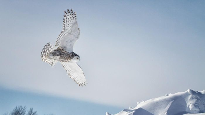In What Countries Can Snowy Owls Be Found?