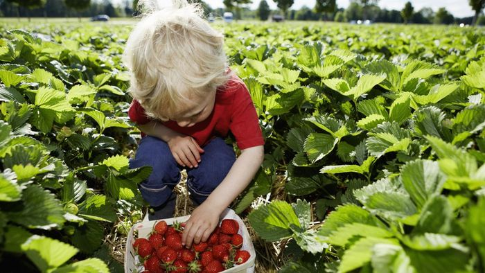 What Are Some Interesting Facts About Strawberries?
