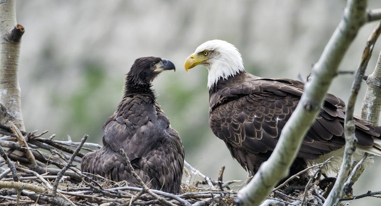 What Species of Eagle Are on the Pennsylvania Eagle Webcam?