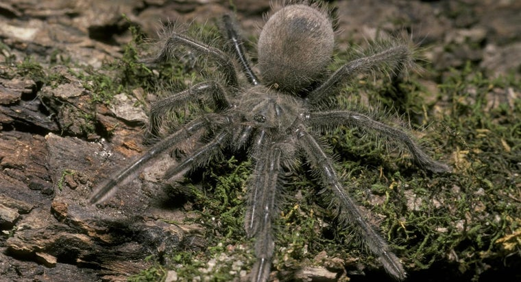 What Is the Largest Spider Ever Recorded?