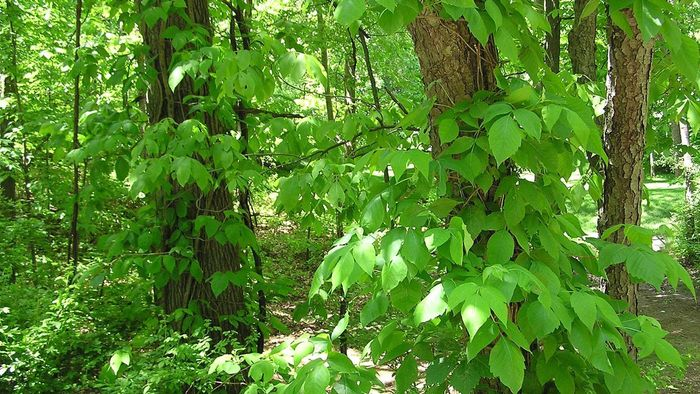 What Is the Cure for Poison Ivy?